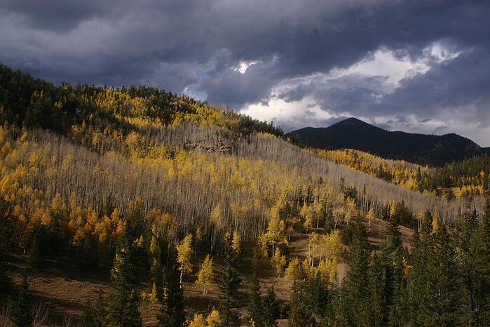 Aspens in Colorado during Autumn