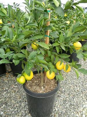 mom citrus